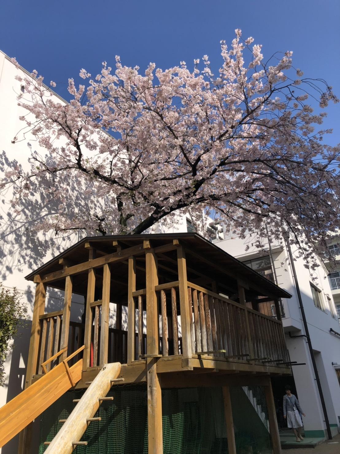 桜 ナザレ